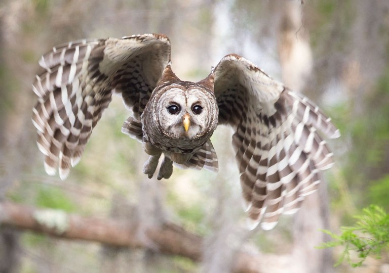 a1_1902_16_barred-owl_sandra_rothenberg_kk